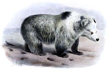 Tibetan Blue Bear (''Ursus arctos pruinosus'')